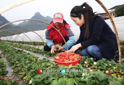李凤鸣在白竹境村的草莓种植基地里与农户一起采收草莓。