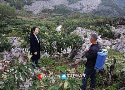 在苏家村委东开村,李凤鸣向村民了解枇杷的长势。