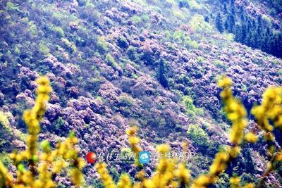 全州黄花岭杜鹃漫山遍野的开放,美得令人窒息。