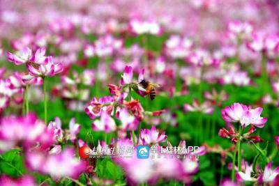 紫云英花海