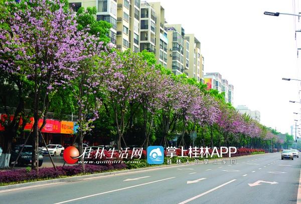 路二条_桂林也有一条粉红的路!环城南二路洋紫荆绽放(图)-桂林生活网