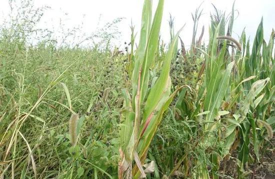 ▲图为被虫害和杂草侵蚀的非转基因玉米,它们需要使用较多毒性高的农药,而且被虫子咬后的玉米容易滋生强致癌物黄曲霉毒素