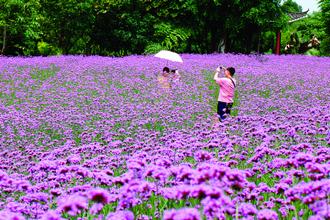 园博园近万平方米浪漫紫色花海太美