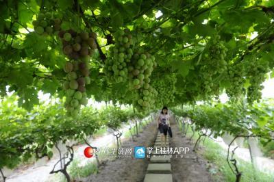 提子产业的规模化发展让资源县享誉中外,也让当地农民富裕起来。记者何平江 摄