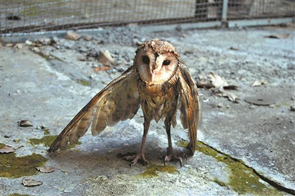 桂林:捕鼠猫头鹰掉油锅被救起