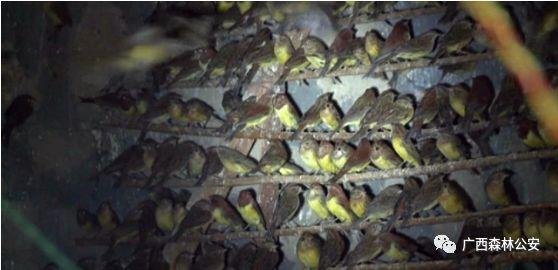 触目惊心!上万只野生鸟被非法贩卖