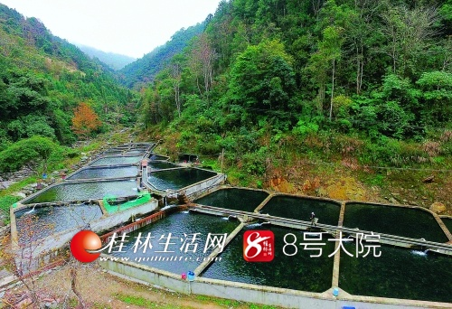 白石村鲟鱼养殖基地依山而建,使用的是山泉水。