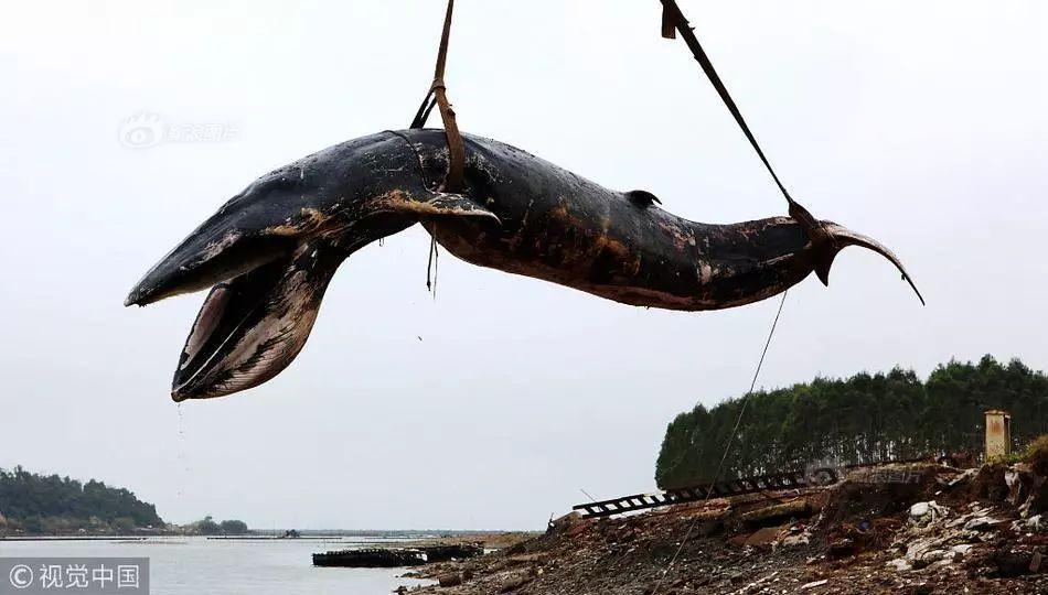 惋惜!一条幼年布氏鲸疑因饥饿死亡