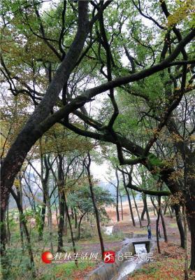 村旁古木参天,虽是隆冬,仍然郁郁葱葱。