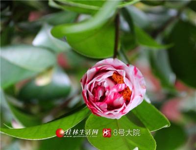春风吹暖二月天 山寺茶花朵朵开