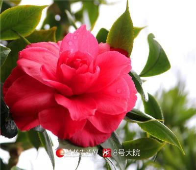 一阵春风一阵雨,2019年2月15日,全州县湘山寺天台院的几株山茶在春雨的滋润下欣然怒放,花姿绰约,带来了早春特别的味道。(唐云军摄)