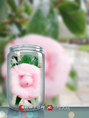 乐虎国际娱乐手机版乐满地山茶花基地高贵典雅的山茶花挂在枝头