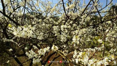 满山的梨花,洁白无暇引人注目