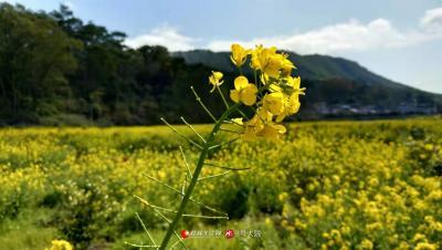 乐虎国际娱乐手机版大圩的油菜花,也开得格外诱人
