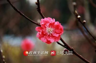 乐虎国际娱乐手机版电子科技大学花匠校区的桃花也开了