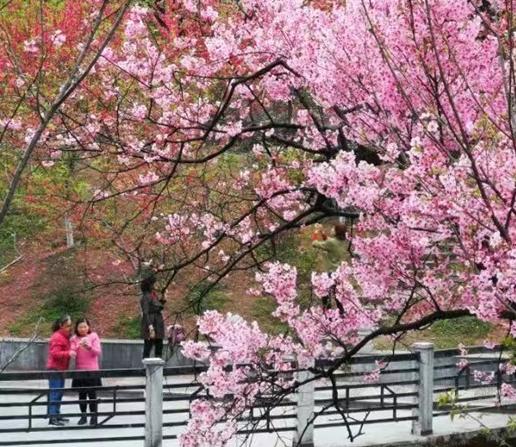 南溪山的樱花已经迎来最佳观赏期!