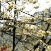 全州山胡椒之花:满树尽披黄金甲