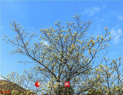 野生山胡椒花位于古邑中八景之一龙岩洞峡谷,属越城岭支脉的东瓜源,距全州县城10余公里。(全州盘摄)