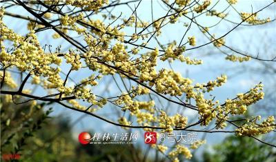 """山胡椒花还有""""公""""""""母""""之分,公花的花朵较大,开花时花瓣向外翻卷,色彩也更鲜艳;而母花的花朵较小,花朵不向外翻卷,色彩较清淡。"""