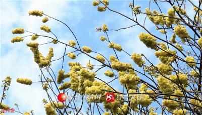 山胡椒花的花朵儿很小,只有花椒粒大小,但满树绕枝开放,叶片要待花谢时才全部长出来,因此,山胡椒花季,树树黄花举在半空,特别生动可爱。