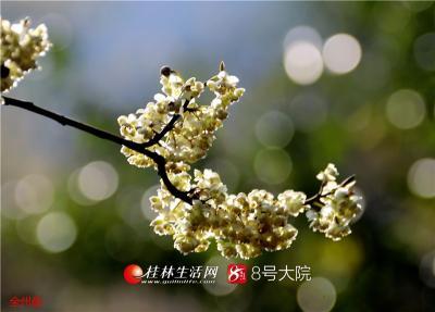 野生山胡椒花