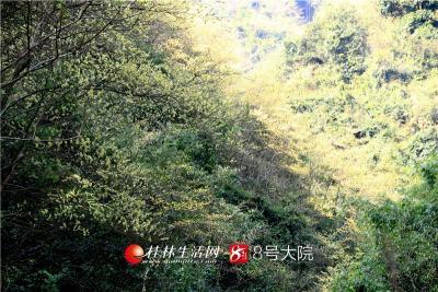 """山胡椒之花,一粒粒、一枝枝、一簇簇,金灿灿地开满枝头,好一派""""满树尽披黄金甲""""。远远望去,星星点点缀于青山的苍翠之中,令人赏心悦目。"""