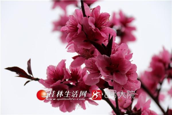 桃花一簇开无主,可爱深红爱浅红?