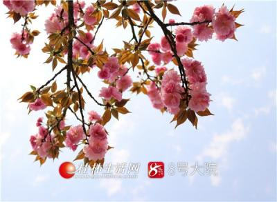 山樱如美人,红颜易消歇。全州樱花已开,只待君来。(唐云军摄)
