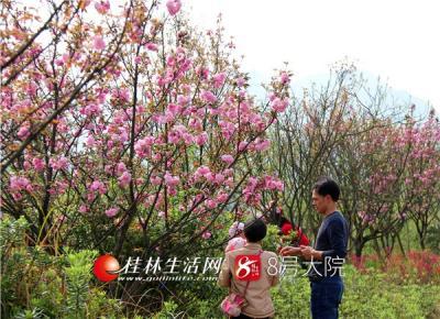 """桂林生活网讯 """"小园新种红樱树,闲绕花枝便当游。""""阳春三月,惠风和畅,广西全州县雷公岭公园路旁的樱花竞相绽放,满树烂漫,如云似霞,吸引了众多市民前来赏花拍照。(唐云军摄)"""