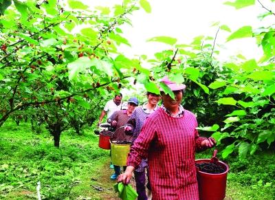 桑果园内,村民们趁着好天气忙着采摘桑葚。
