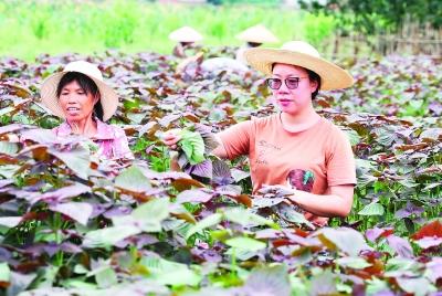 王承凤(右)和村里的妇女在田里采摘紫苏叶。