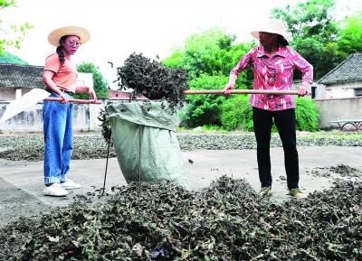 晒干的紫苏叶将被送入药厂。