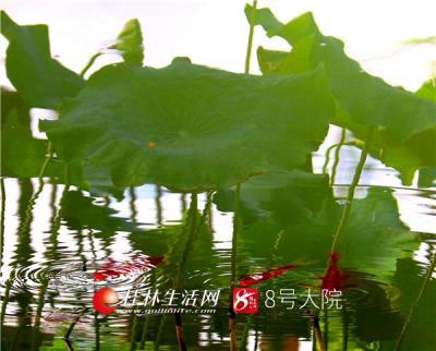 七月夏日,桂林全州一处荷塘,鱼儿在莲叶间嬉戏、觅食。(唐云军  摄)