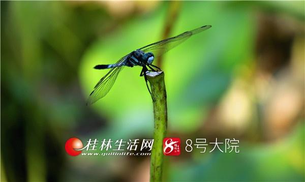 幸福的田园生活,一定离不开有荷塘的存在。有荷塘的地方,就一定有蜻蜓的身影。在夏日的阳光里,微风吹过荷塘,蜻蜓从草茎上醒来。它一直立在那里,静静的待着,任你左拍右拍。就是动了,它也是再飞到原来的水草或叶子上。花叶依无语,偶尔蛙两声……荷塘是蜻蜓自己的荷塘。(唐云军摄)