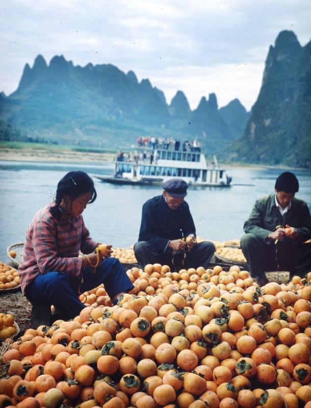 1981年,柿子丰收,阳朔果农精选柿子准备外运销售  谢杰民 摄.jpg