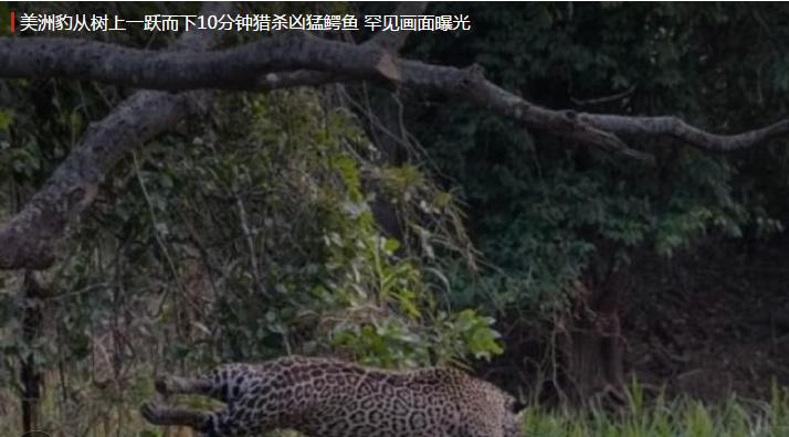 美洲豹从树上一跃而下10分钟猎杀凶猛鳄鱼 罕见画面曝光