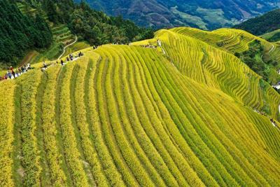 10月17日,游客在广西桂林市龙胜各族自治县龙脊梯田景区不雅观光游览。