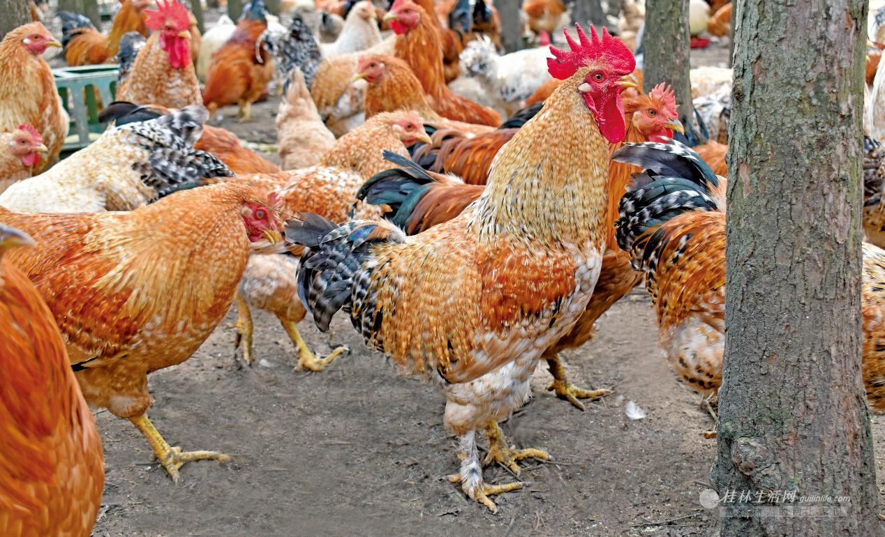 助力脱贫攻坚 一起来吃鸡