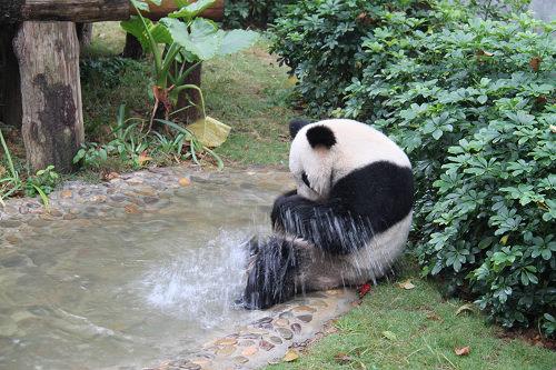 两只奥运大熊猫正式安家桂林动物园(图)
