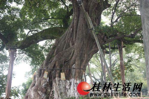大榕树没生病,但树干太老化了,园林部门正为其增加营养和催生气根.