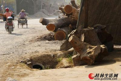 """根雕市场""""繁荣""""起来后,各种垃圾将排水道堵塞,养路工人清淤的速度总是赶不上堵塞的速度,于是路面常年被水浸泡,路也总是修不好。图为路边树蔸压毁了排水道。记者陈延明 摄"""