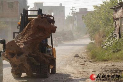铲车铲树蔸都是把尖铲入地翘起树蔸,而在行驶中遭遇坑洼,树蔸常会掉在路面上,那时铲车就会在公路上直接往下铲,路面被铲烂的事时有发生。图为运送树蔸的常用铲车。 记者陈延明 摄