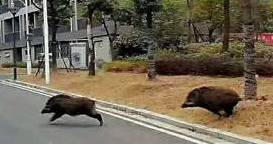大学校惊现野猪 网友疯狂p图笑到喷