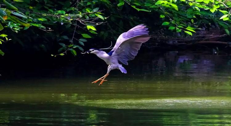 桂林榕湖首次出现这种难得一见的鸟