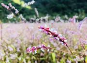 亚洲城_雁山有一片粉色的花地