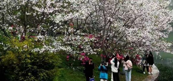 浪漫!桂林南溪公园樱花盛放