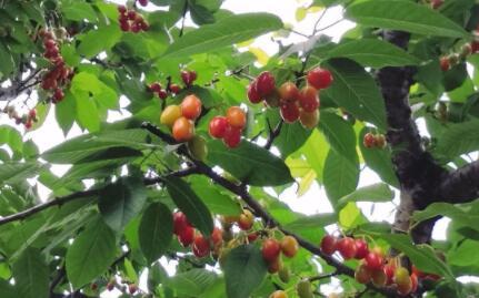 樱花树的果子能吃吗?